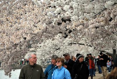 ワシントンの桜 ソメイヨシノ パブリックドメイン