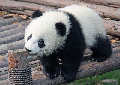panda-baby-01.JPG